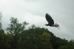 The Steller Sea Eagle with an 8ft wingspan.