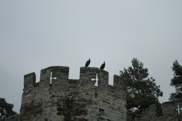 Peacocks perched on a battlement